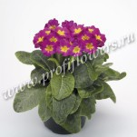 8 Primula Crescendo Rose Shades mini2