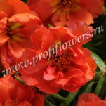 5 Portulaca Happy Hour Orange POR10-10000