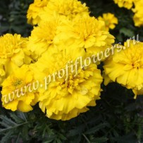 tagetes cresta yellow
