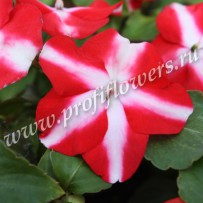 impatiens balance red star