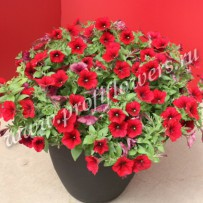 petunia easy wave red velour1
