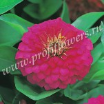 Zinnia Dreamland Rose FZN-627-01