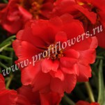 2 Portulaca Happy Hour Deep red POR10-10003