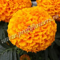 tagetes taishan orange