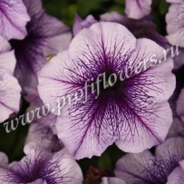 petunia bravo blue veined