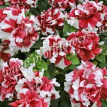 7 Petunia Duo Red and White_PET08-7060MAD_1