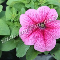 petunia limbo gp rose veined