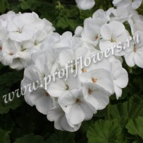 pelargonium apache white
