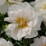 3 Portulaca Happy Hour Coconut