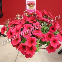petunia easy wave berry velour