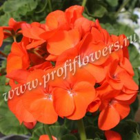 pelargonium horizon orange