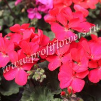 pelargonium nano red