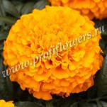 6 Tagetes erecta  Antigua Orange_04TE 020-01 HR Antigua F1 Orange2