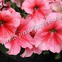 petunia bravo salmon veined