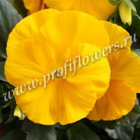 viola delta pure yellow
