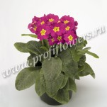 1 Primula Crescendo Bellarose mini2