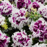 2 Petunia grandiflora Double Pirouette  Purple PET08-7065