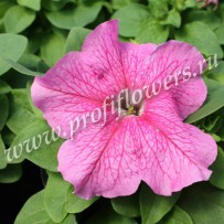 petunia limbo rose veined