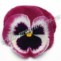 Виола крупноцветковая Матрикс