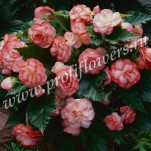 Begonia tuberous F1 On Top_Fandango