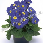 2 Primula Crescendo Blue Shades mini2