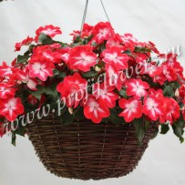 impatiens super elfin red sturburst