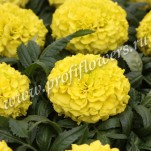 3 Tagetes erecta  Antigua  Yellow_HR_goldsmith_
