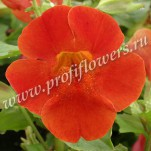 6 Mimulus Maximus Red Shades 046630