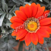gazania frosty kiss red