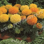 4 Tagetes erecta  Antigua Mix_ HR_goldsmith_ANTM11