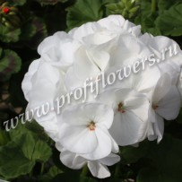 pelargonium horizon pure white