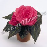 41 Begonia Nonstop Mocca Pink Shades mini