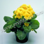 6 Primula Crescendo Yellow mini