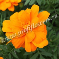 tagetes durango orange