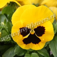 viola delta gold with blotch