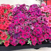 petunia easy wave velour