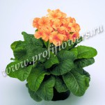 7 Primula Crescendo Orange mini