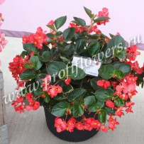 begonia big red green leaf
