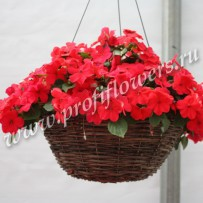 impatiens super elfin punch