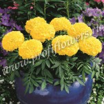 2 Tagetes erecta  Antigua  Yellow_HR_goldsmith_ANTY01